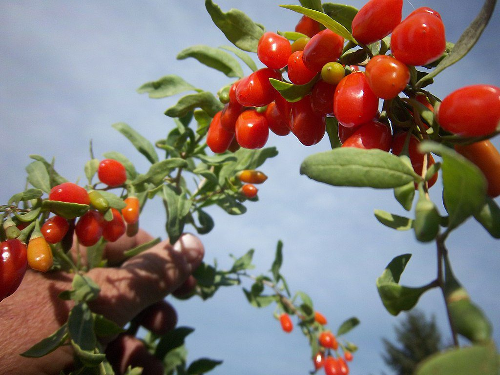 goji berry in the best antioxidant juice